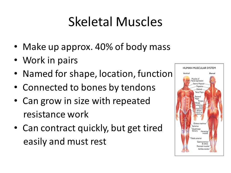 Skeletal Muscles Make up approx. 40% of body mass Work in pairs