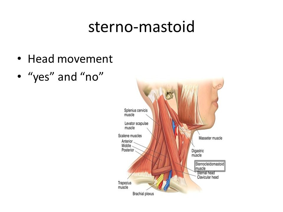 sterno-mastoid Head movement yes and no