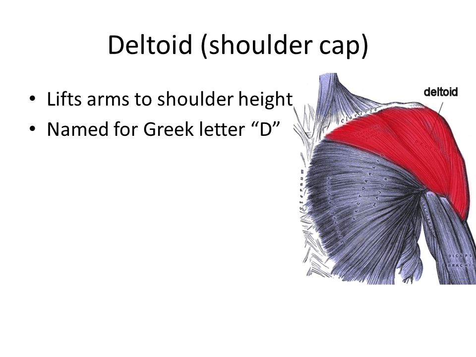 Deltoid (shoulder cap)