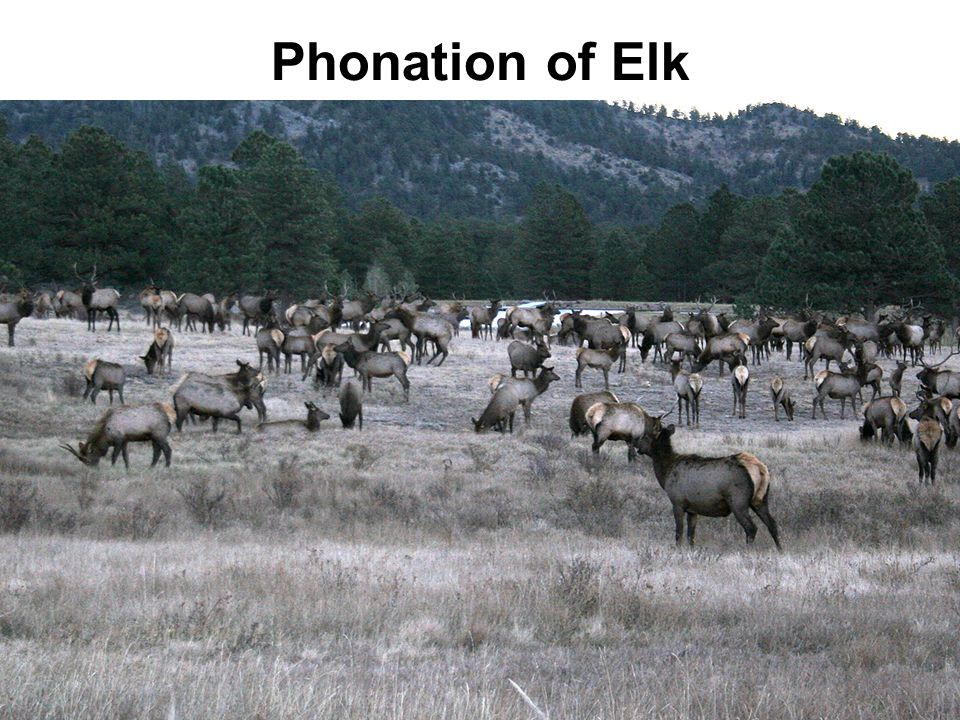 Phonation of Elk