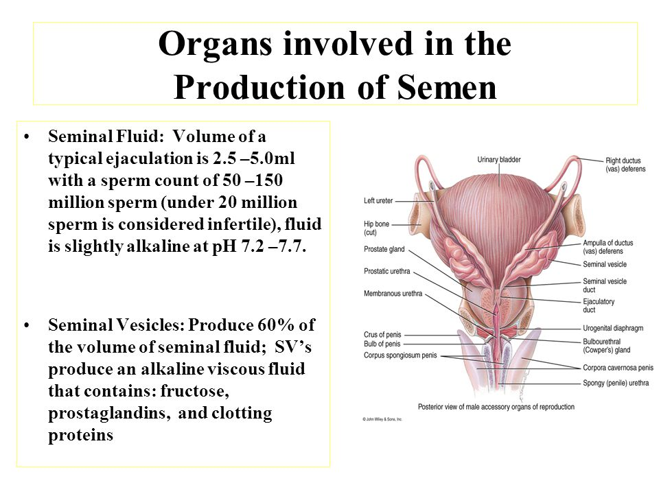 Organs involved in the Production of Semen