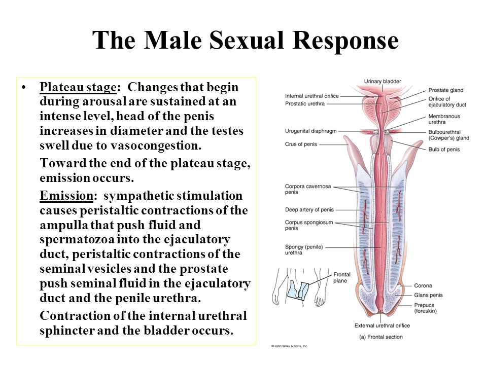 The Male Sexual Response