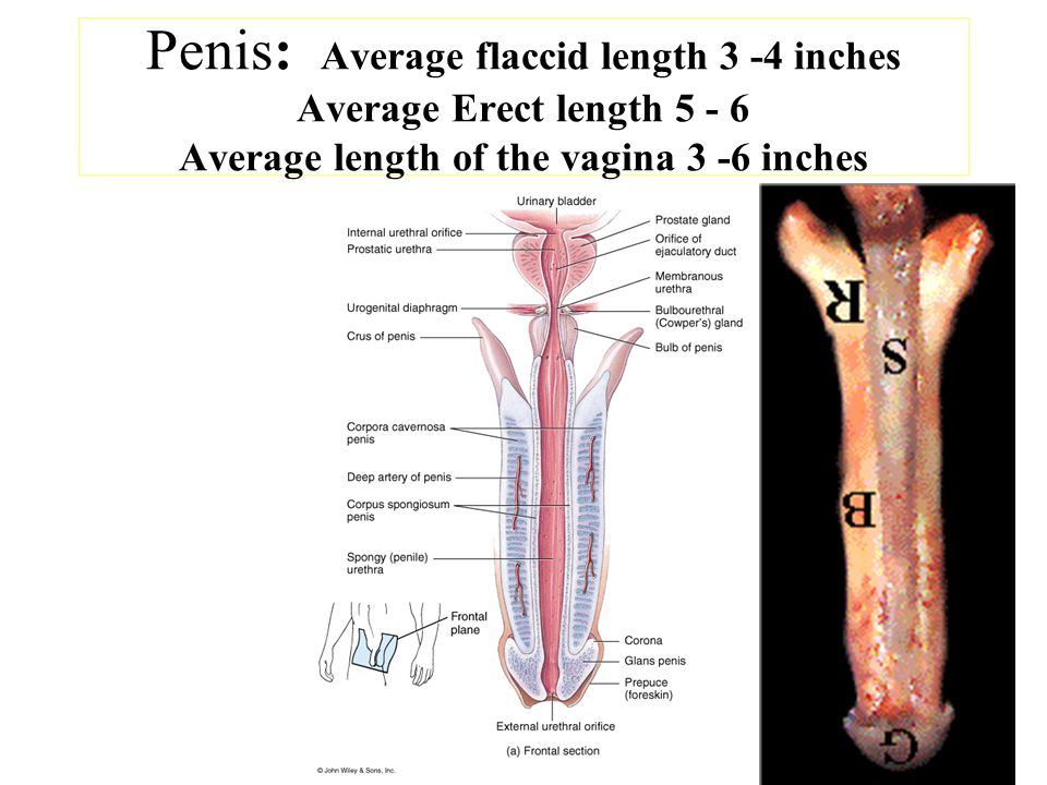 What Is The Average Penis Size When Erect 23