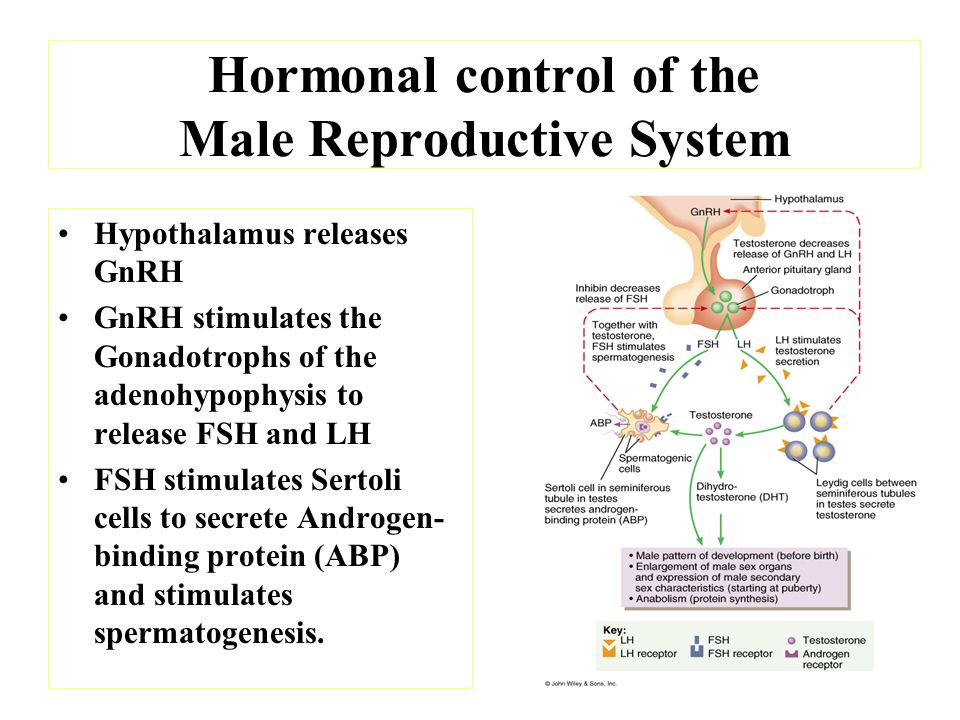 Hormonal control of the Male Reproductive System