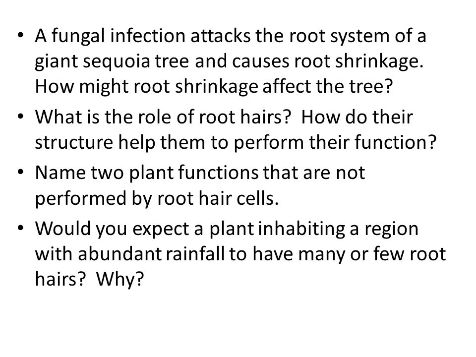 A fungal infection attacks the root system of a giant sequoia tree and causes root shrinkage. How might root shrinkage affect the tree