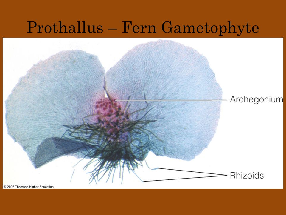 Prothallus – Fern Gametophyte