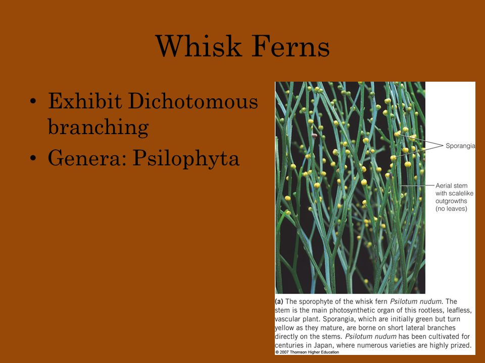 Whisk Ferns Exhibit Dichotomous branching Genera: Psilophyta