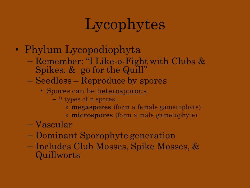 Lycophytes Phylum Lycopodiophyta