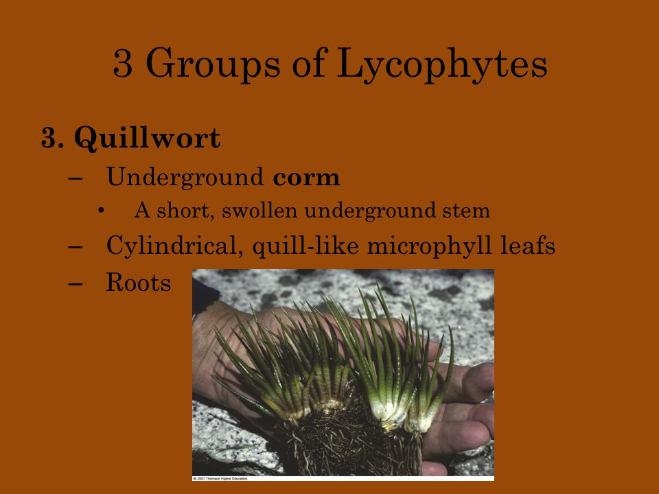 3 Groups of Lycophytes 3. Quillwort Underground corm