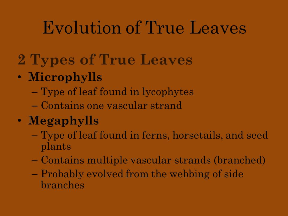 Evolution of True Leaves