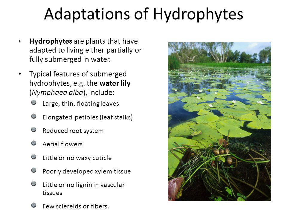 Adaptations of Hydrophytes