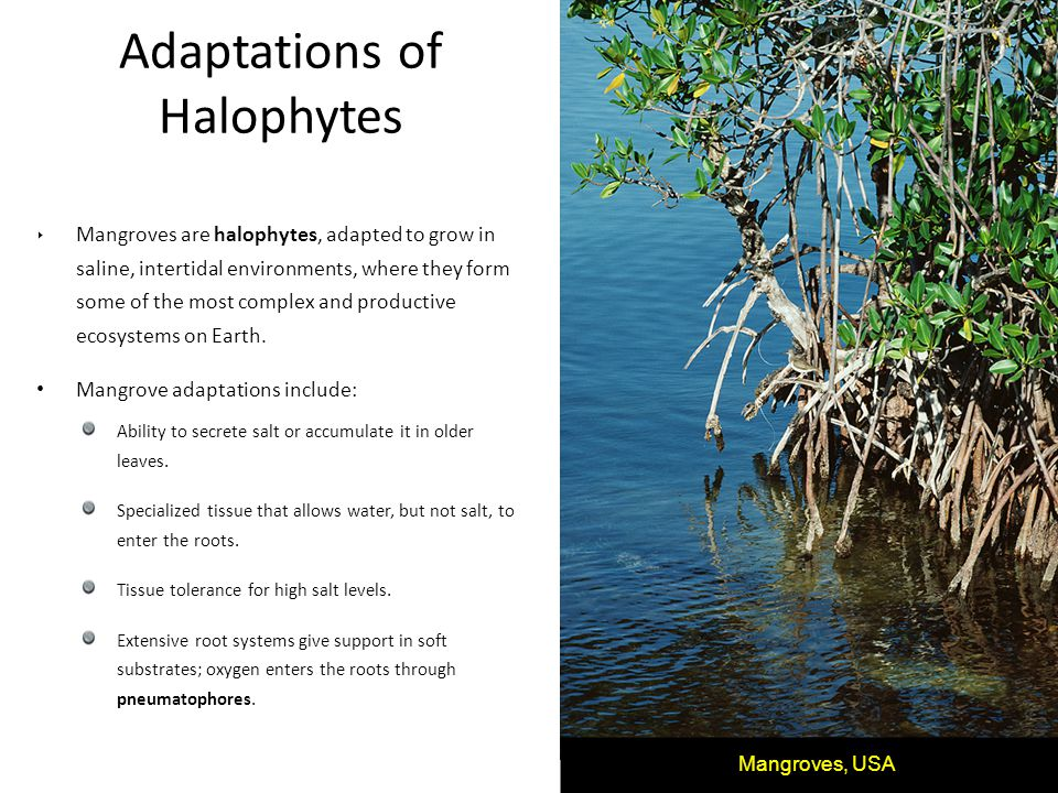 Adaptations of Halophytes