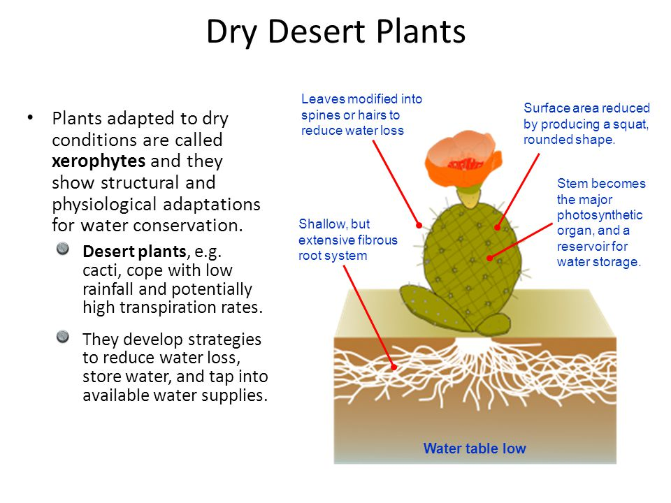Dry Desert Plants Leaves modified into spines or hairs to reduce water loss. Surface area reduced by producing a squat, rounded shape.