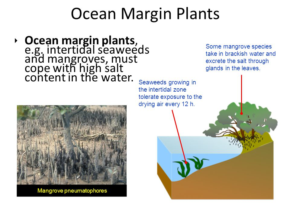Ocean Margin Plants Ocean margin plants, e.g. intertidal seaweeds and mangroves, must cope with high salt content in the water.