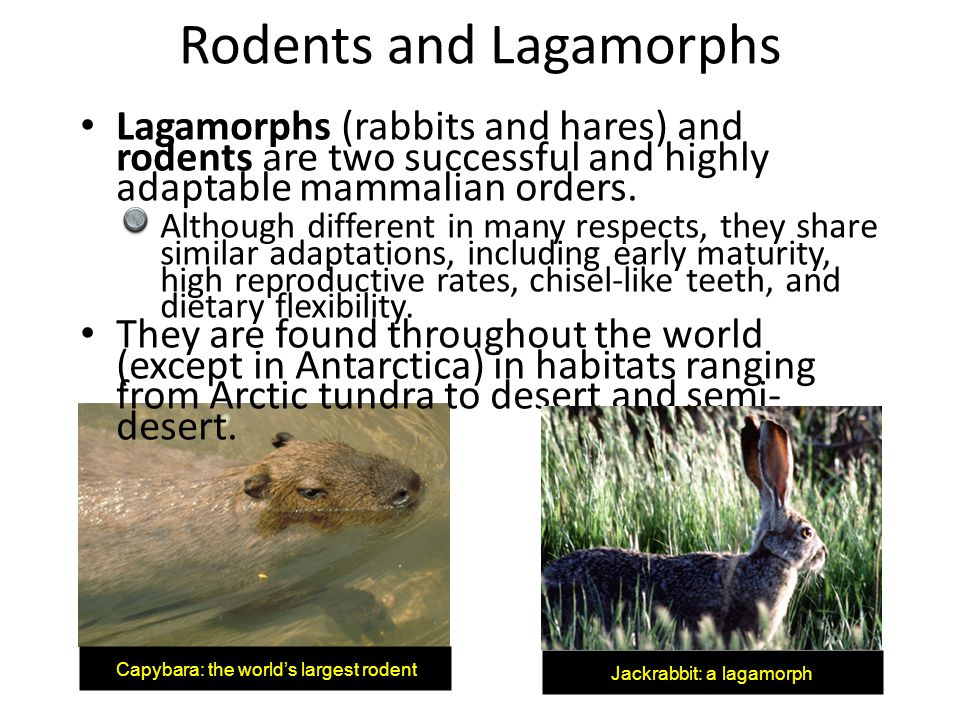 Rodents and Lagamorphs