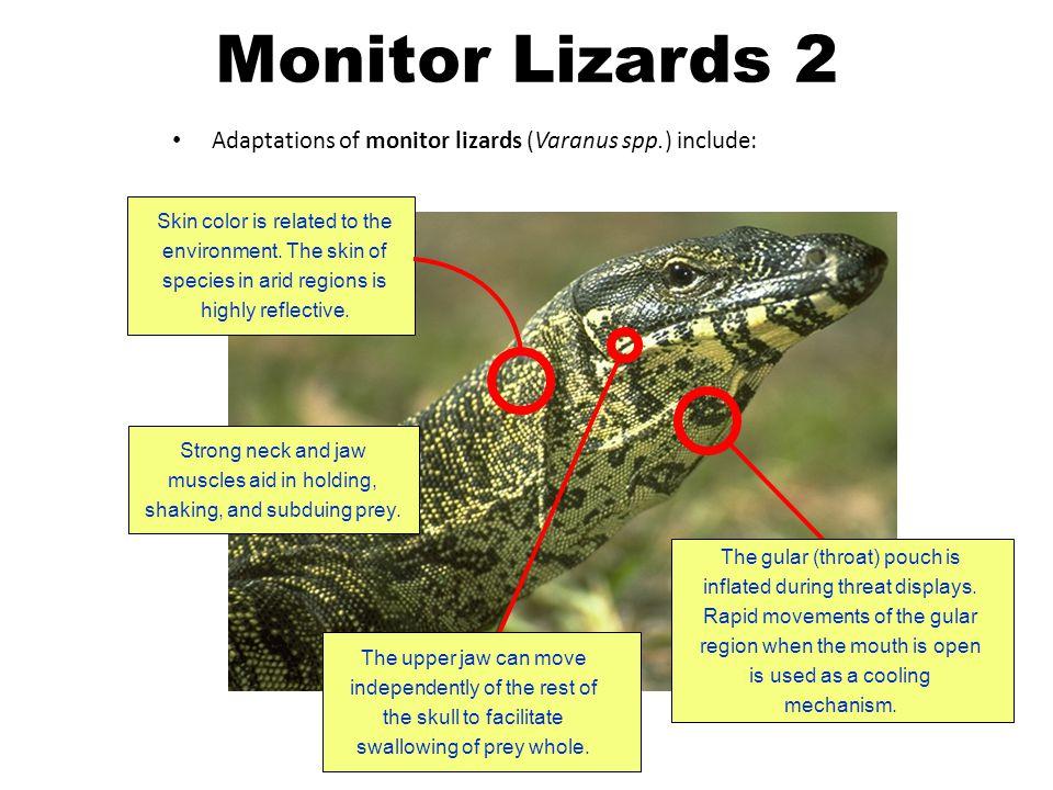 Monitor Lizards 2 Adaptations of monitor lizards (Varanus spp.) include: