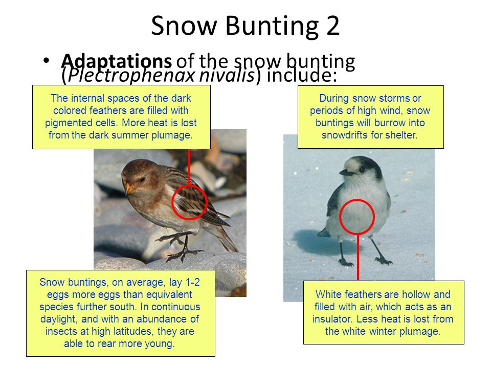 Snow Bunting 2 Adaptations of the snow bunting (Plectrophenax nivalis) include: