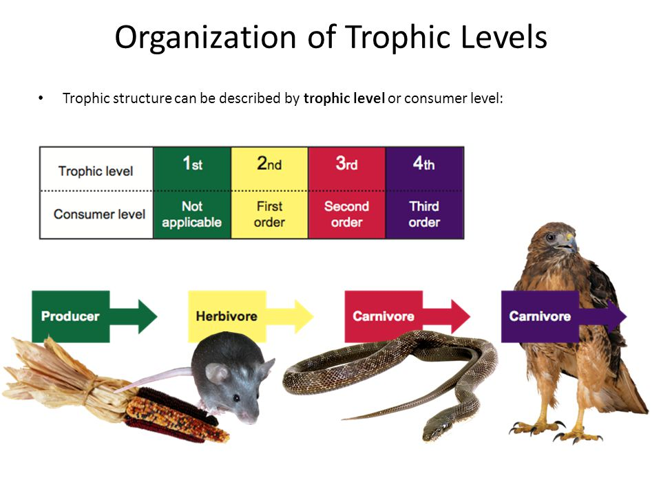 Organization of Trophic Levels