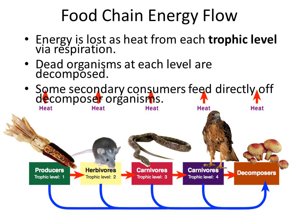 Food Chain Energy Flow Energy is lost as heat from each trophic level via respiration. Dead organisms at each level are decomposed.