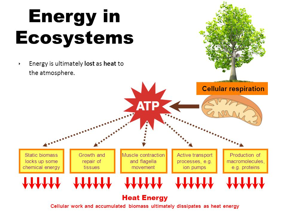 Energy in Ecosystems Cellular respiration. Energy is ultimately lost as heat to the atmosphere. Static biomass locks up some chemical energy.