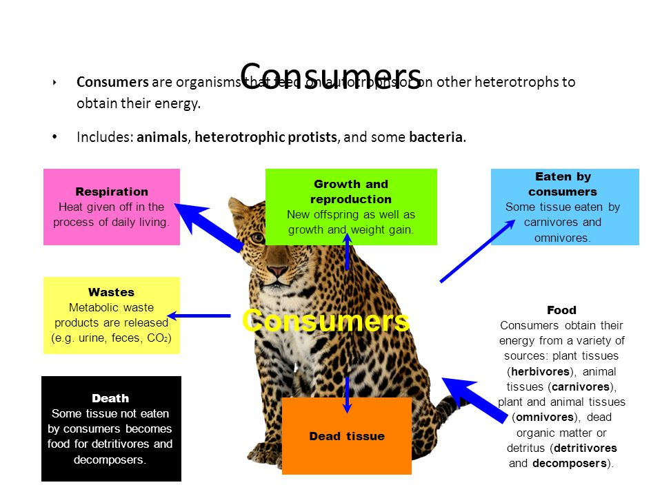 Consumers Consumers are organisms that feed on autotrophs or on other heterotrophs to obtain their energy.