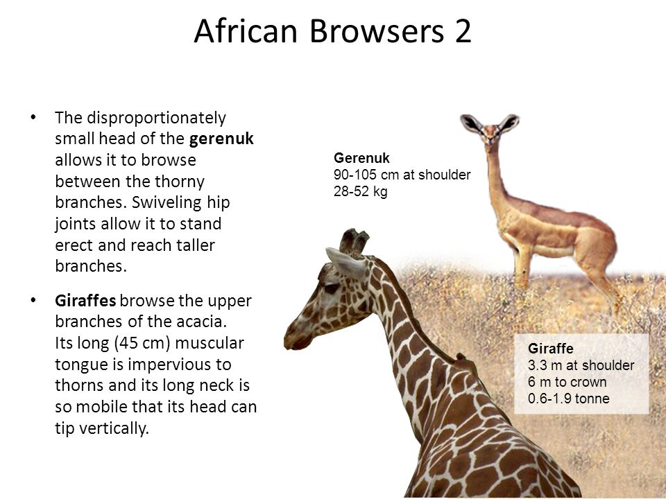 African Browsers 2