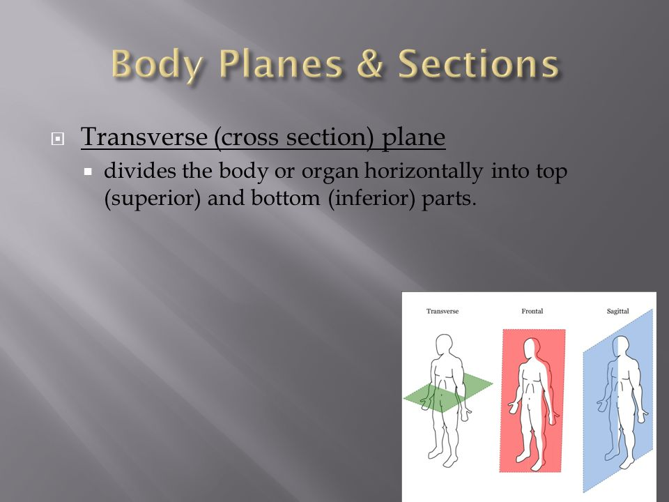 Body Planes & Sections Transverse (cross section) plane