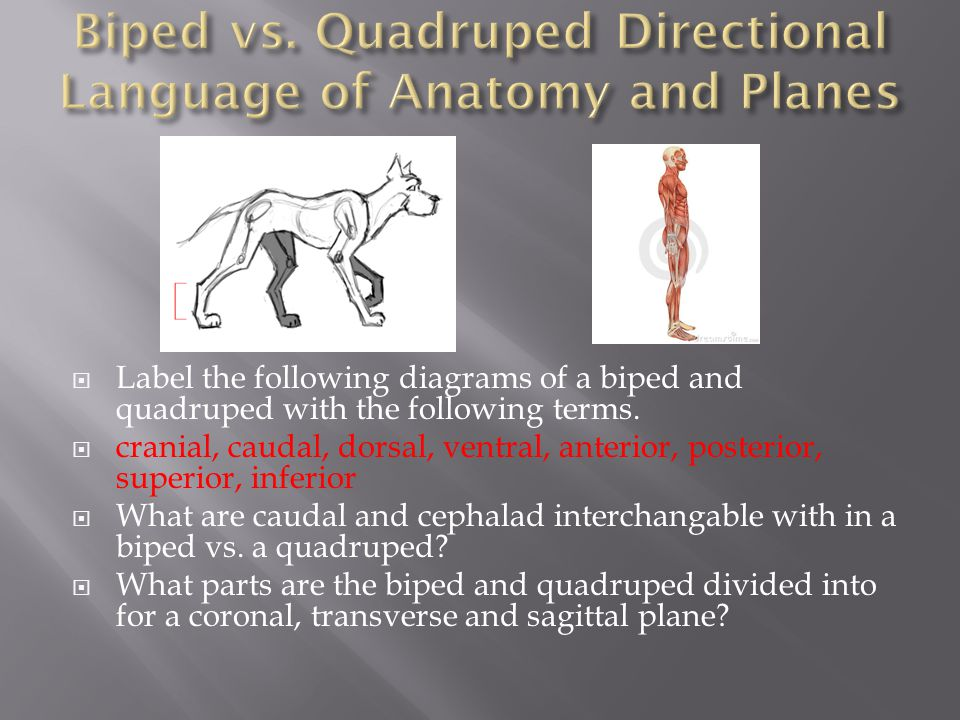 Biped vs. Quadruped Directional Language of Anatomy and Planes
