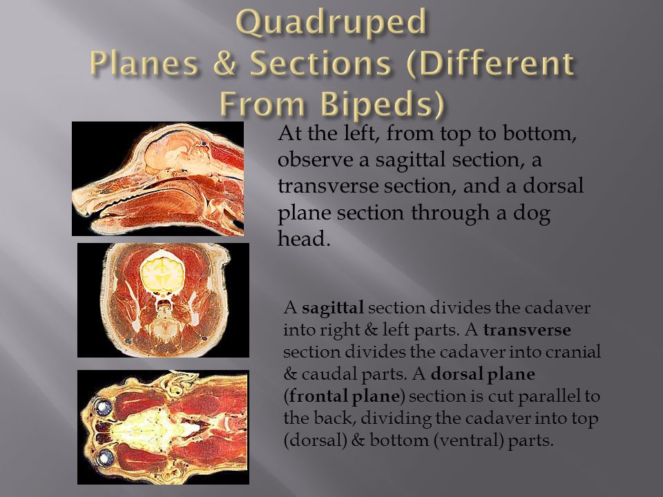 Quadruped Planes & Sections (Different From Bipeds)