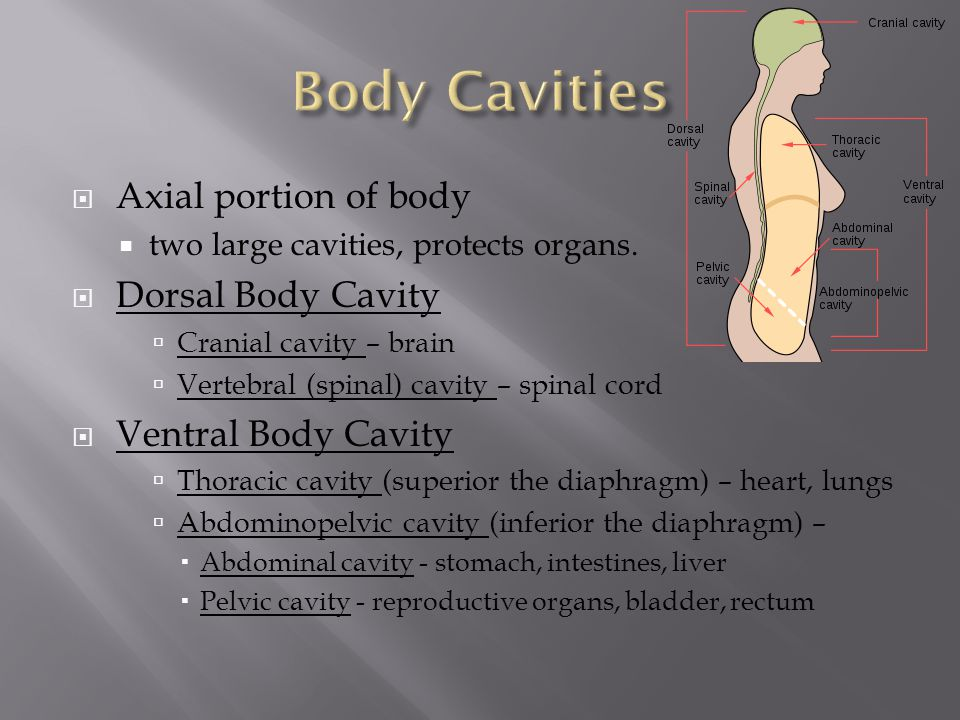 Body Cavities Axial portion of body Dorsal Body Cavity