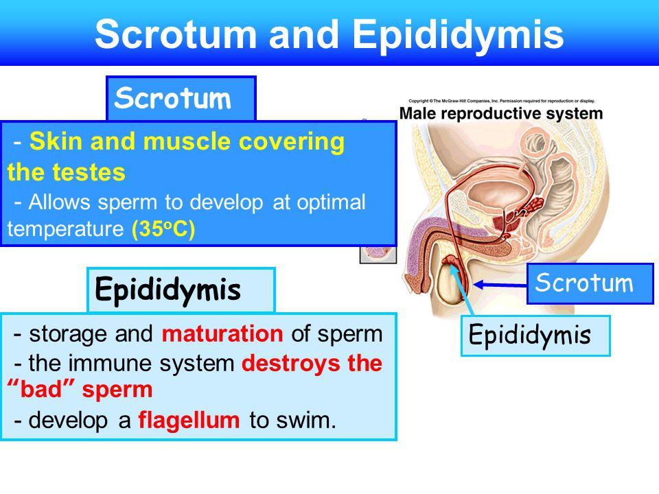 Scrotum and Epididymis
