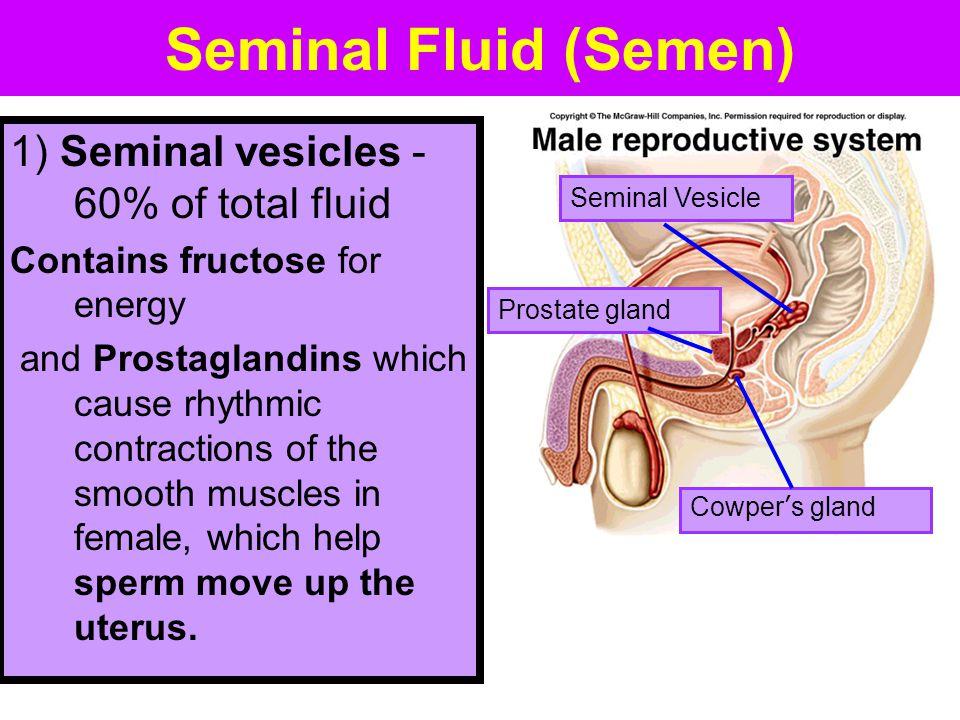 Seminal Fluid (Semen) 1) Seminal vesicles - 60% of total fluid