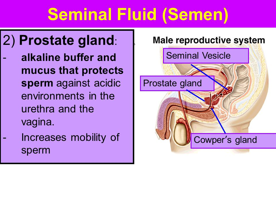 Seminal Fluid (Semen) 2) Prostate gland: