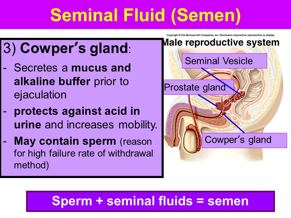 Sperm + seminal fluids = semen
