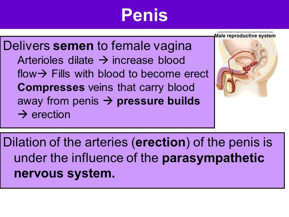 Penis Delivers semen to female vagina