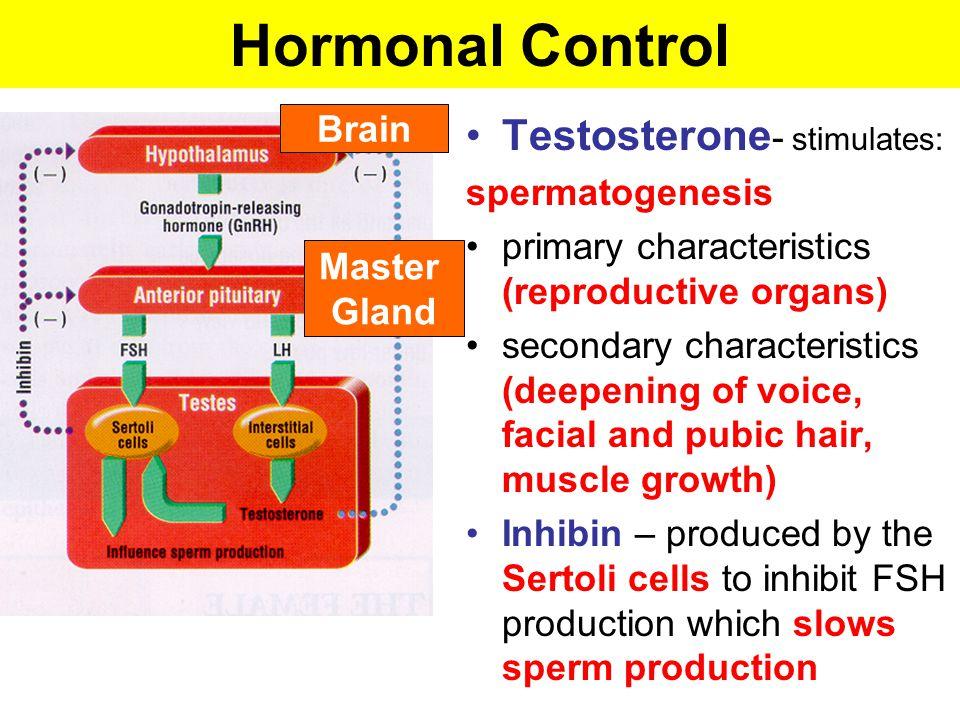 Hormonal Control Testosterone- stimulates: Brain spermatogenesis