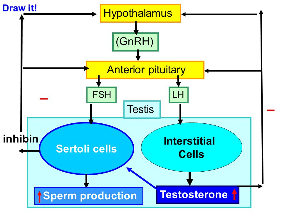 _ _ Hypothalamus (GnRH) Anterior pituitary Testis Interstitial inhibin