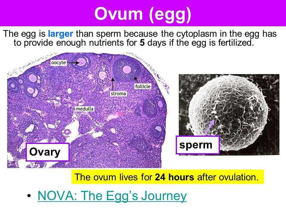 Ovum (egg) NOVA: The Egg's Journey sperm Ovary