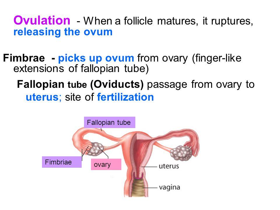 Ovulation - When a follicle matures, it ruptures, releasing the ovum
