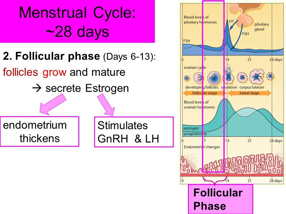 Menstrual Cycle: ~28 days