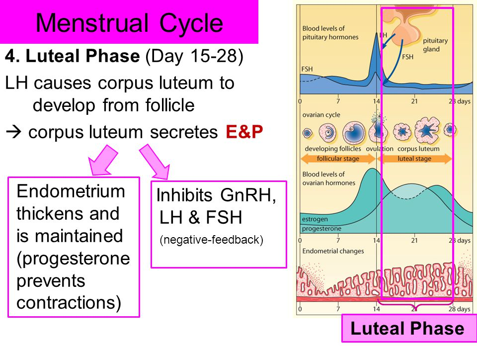 Menstrual Cycle 4. Luteal Phase (Day 15-28)