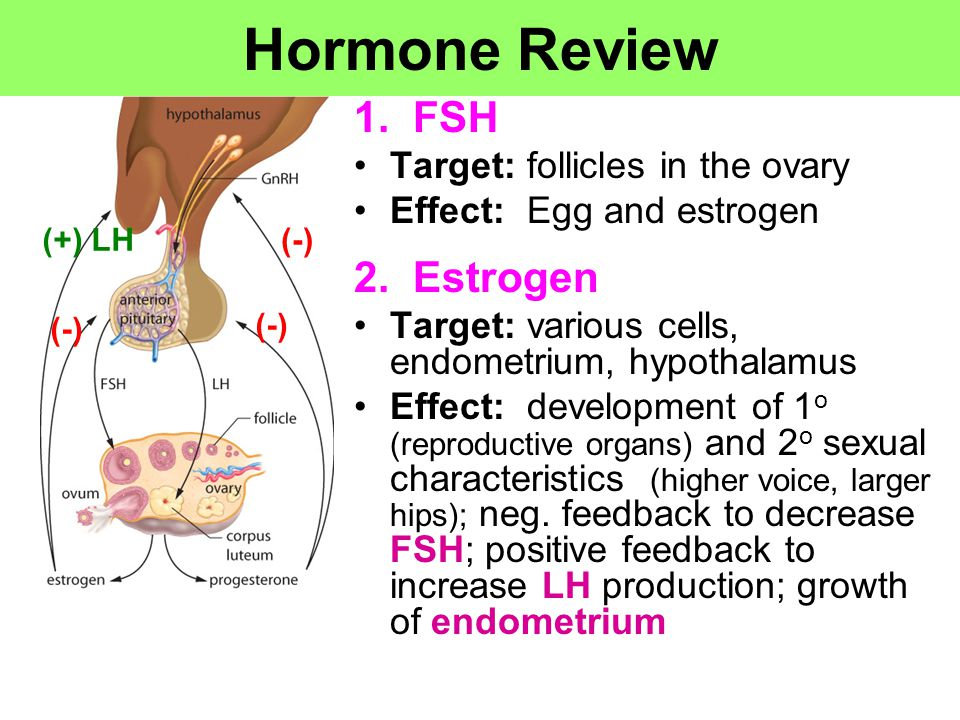 Hormone Review 1. FSH 2. Estrogen Target: follicles in the ovary