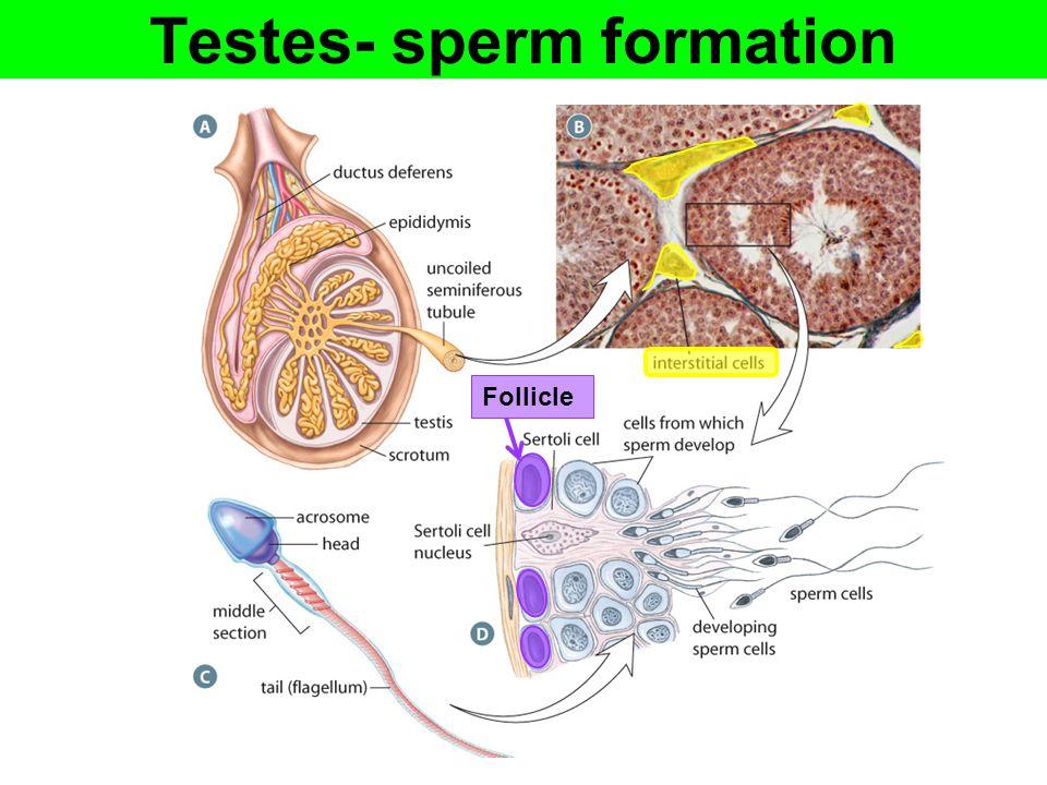 Testes- sperm formation