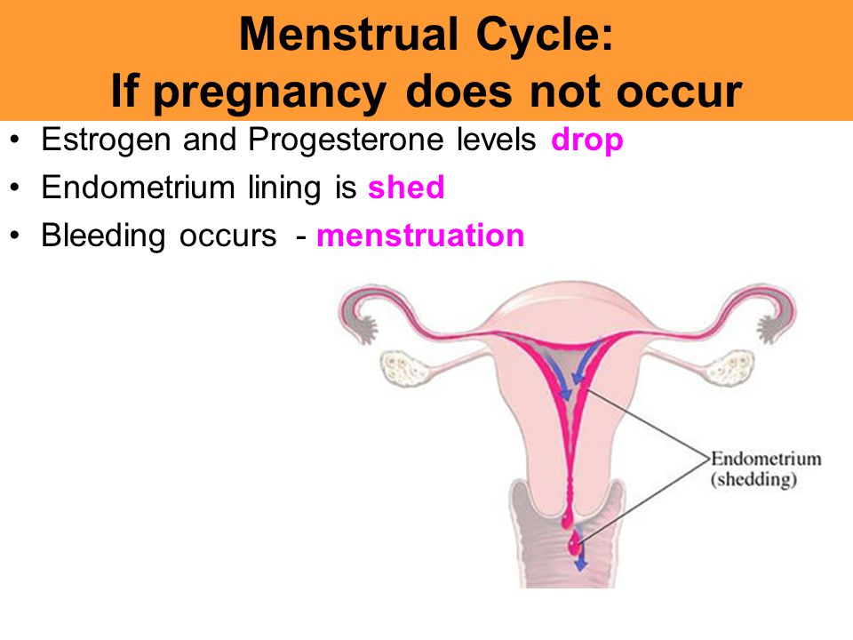Menstrual Cycle: If pregnancy does not occur