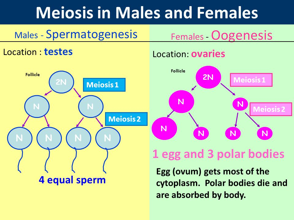 Meiosis in Males and Females