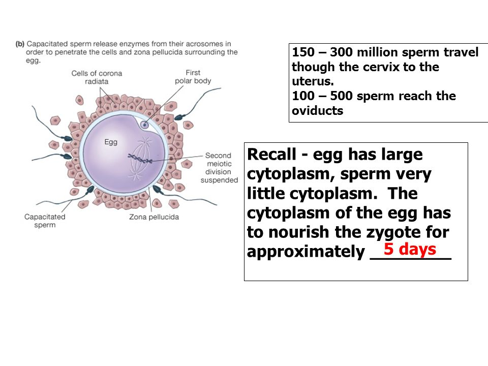 150 – 300 million sperm travel though the cervix to the uterus.