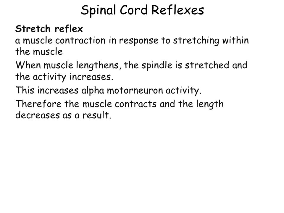 Spinal Cord Reflexes Stretch reflex a muscle contraction in response to stretching within the muscle.