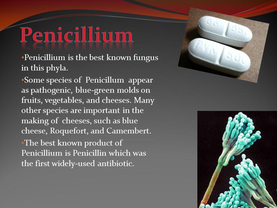 Penicillium Penicillium is the best known fungus in this phyla.