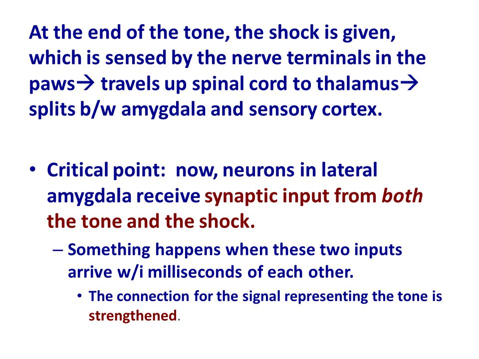 At the end of the tone, the shock is given, which is sensed by the nerve terminals in the paws travels up spinal cord to thalamus splits b/w amygdala and sensory cortex.
