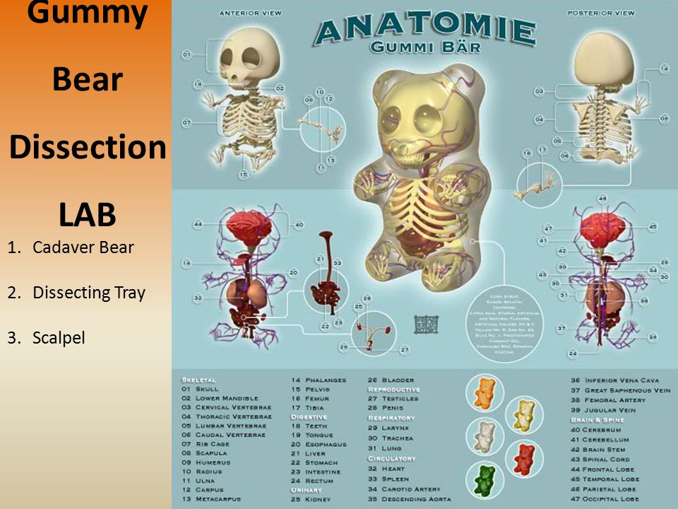 Gummy Bear Dissection LAB